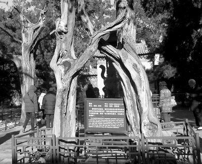 故宫里的古树名木:活的文物 国之瑰宝