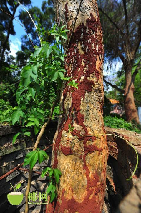 树身上布满了红色的胶泥,来公园晨练的人说这是白蚁活动的痕迹。