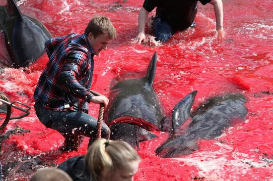 法罗群岛居民猎杀巨头鲸,其技术可让鲸在30秒内死亡(图片来源:mappingmegan.com)