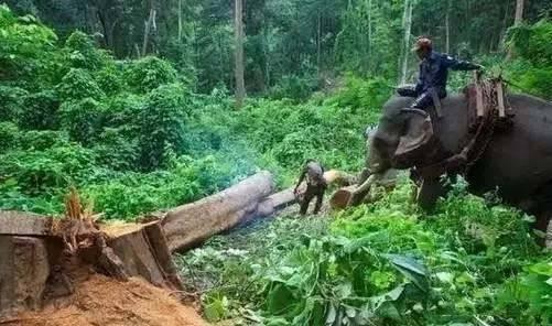 因为木材资源的锐减,近年来缅甸接二连三出台政策限制出口、禁止砍伐,每年都会出一些大动作: