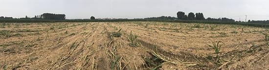 大韩村遗址地表农作物已被清除,遗址地表面积约102米X88米。