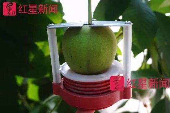 为了让麻核桃形状更好,有的核农会给生长中的果子安上仪器