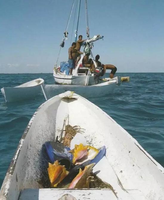 图中黄色的海螺为女王凤凰螺