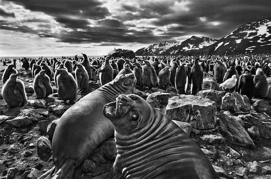 象海豹在圣安德鲁斯湾繁衍后代,塞巴斯提奥·萨尔加多,2007年