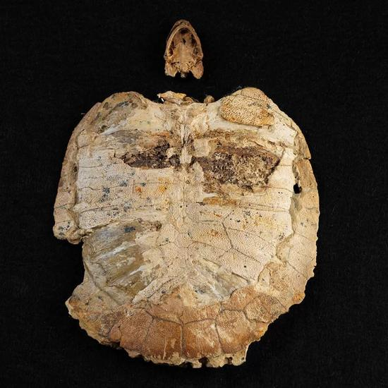 ▲收藏品中的海龟化石,生活在1.1亿年前
