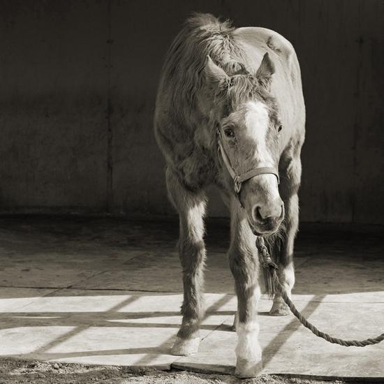 一匹长得很好看的33岁的马,图片来自Isa Leshko个人网站。