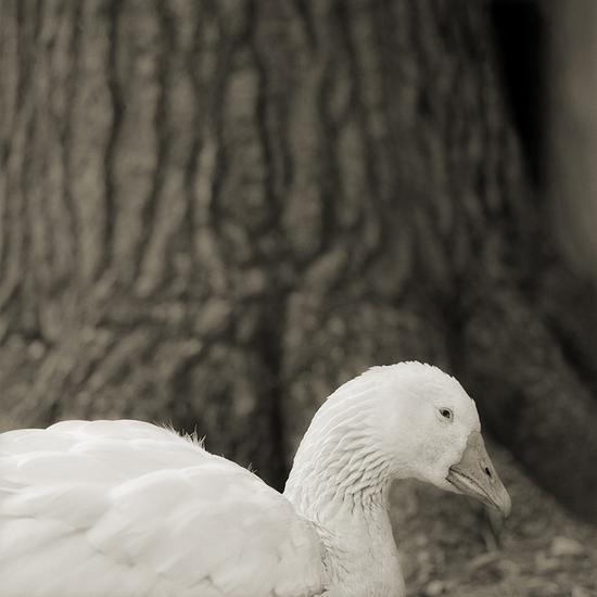28岁的埃姆登鹅,图片来自Isa Leshko个人网站。