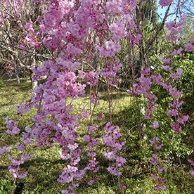 樱花满开美秀美术馆官网 4月18日上午9点 拍摄
