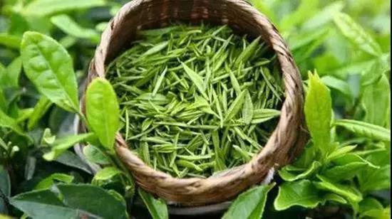 """绿茶具有""""三绿""""的特点:干茶绿,茶汤绿,冲泡后的叶底也是绿色的。"""