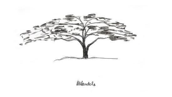 科克布姆树,南非的标志性树木之一,来自曼德拉儿时记忆中的风景