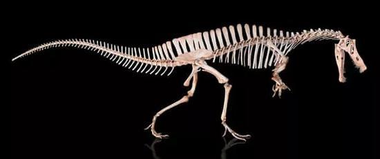 ▲激龙(Angaturama limai)的骨架
