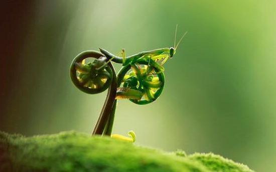 原本平淡无奇的植物,一只螳螂从上面爬过,抓拍下来后就好似螳螂在骑自行车。
