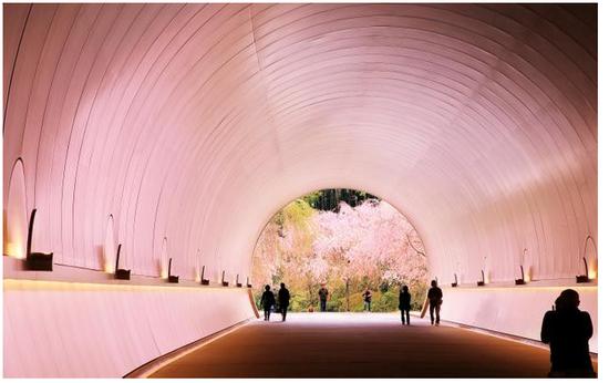 渲染成樱色的隧道 细川卓拍摄 美秀美术馆
