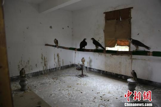 疑似国家二级保护动物鹰被不法分子关在屋内 通讯员 摄