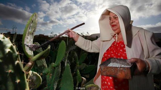 养殖胭脂虫的农民正在种植仙∮人掌,因为胭脂虫就寄生在仙人掌上。