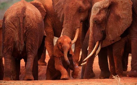 象群呵护下戏耍的非洲象幼崽。(WWF和TRAFFIC提供,肖戈摄)