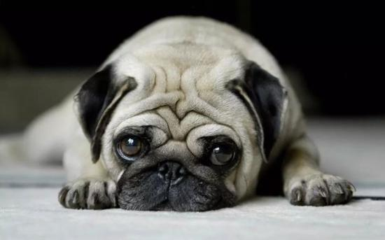 古典肖像里的狗狗