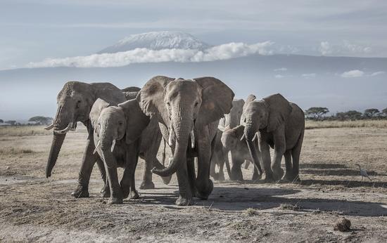 雪山下的非洲象。(WWF和TRAFFIC提供,肖戈摄)