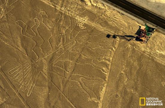"""当地时间1月27日,一位秘鲁卡车司机破坏了这幅名为""""Guarango树""""的纳斯卡地画(拍摄于2014年)。 摄影:MARTIN BERNETTI,AFP/GETTY 撰文:Rachel Brown"""