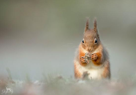 "7、""Red Squirrel"",Gladys Klip"