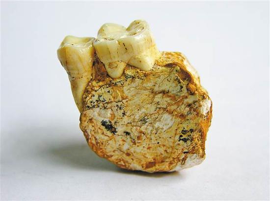 """旧石器时代""""巫山人""""左下颌骨化石"""