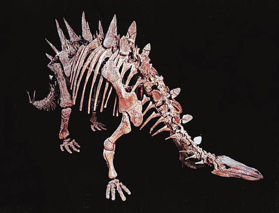 侏罗纪多棘沱江龙化石