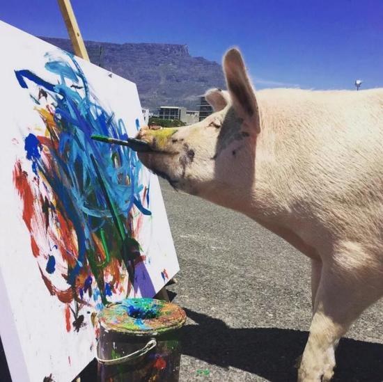 千里猪也要有伯乐赏识,而猪加索的命运就是在4周大的时候发生了转机。