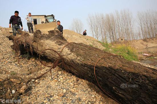 男子16年巨资打捞阴沉木200多根 你知道什么是阴沉木吗?