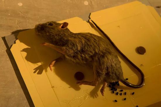 """Thank God 感谢上帝,黎薇,杨画廊,北京,2013年 艺术家把画廊布置成教堂的模样,祭坛旁边放着被捕鼠器捉住的老鼠模型。""""捕鼠器真的好残酷,被捉住的老鼠就这么活生生地流血至死。但其实老鼠是一种非常聪明的动物。"""""""