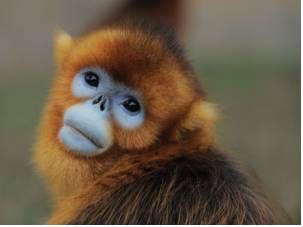 金丝猴照原型