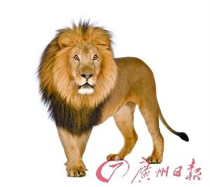 狮子(资料图片)