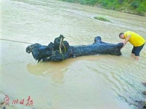 村民在河中打捞乌木。