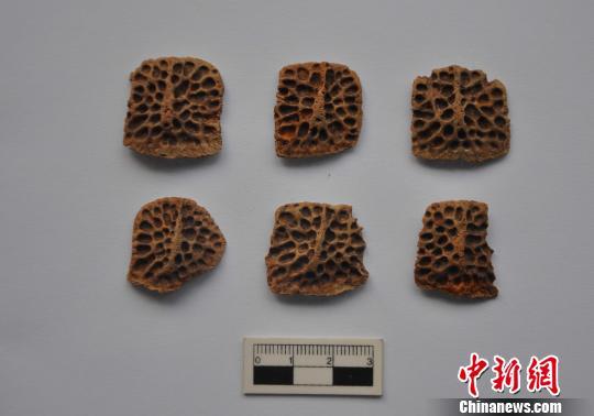 出土的鳄鱼骨板。 陕西省考古研究院 摄