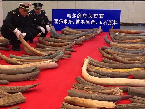 哈尔滨海关查获的夹藏走私猛犸象牙