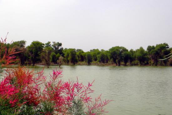 (宋志峰 摄影)相映成趣-塔里木河谷两岸,胡杨树遮蔽成荫,犹如伟岸的男人,守护一片天地,虽刚直不阿,但感觉缺少一点什么,显得单调。幸好有红柳,才润了颜色添了情趣。