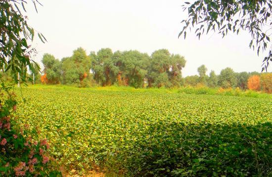 (宋志峰 摄影)光照棉田-新疆因气候干旱,光照时间长,棉花纤维长,质量好。沙漠绿洲中、大河两岸,成了开荒种植的棉花理想地,百姓人家靠棉织衣,大客商靠棉打开富裕之门。