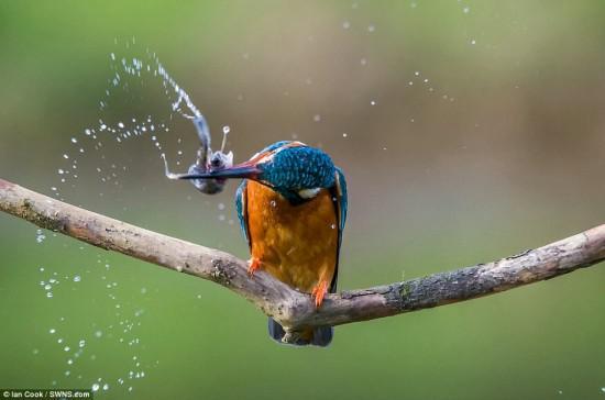 英国厨师伊恩·库克因其拍摄的翠鸟捕食的照片也深受人们的喜爱。