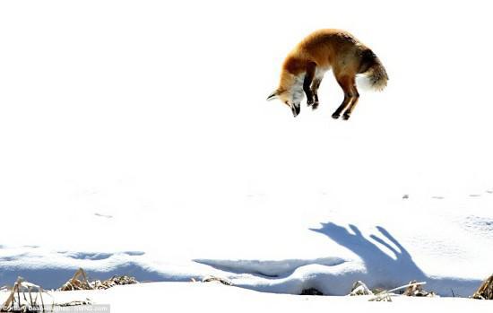 来自汉普郡的前芭蕾舞女教师希拉里·德安·休斯在黄石国家公园的雪地上,成功地拍下了一只在雪地里跳芭蕾舞的狐狸的照片。
