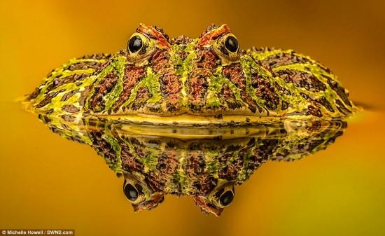 英国摄影师米歇尔·豪厄尔的获奖作品阿根廷角蛙