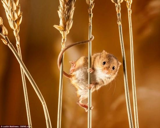多塞特的朱迪思·马修斯的作品——玉米杆上的老鼠