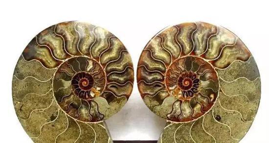 彩斑菊石化石摆件