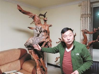 图为:王朝阳介绍家中珍藏的崖柏