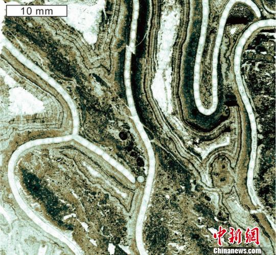 图为陕西省铜川市桃曲坡剖面中已知最早的镣珊瑚Catenipora tongchuanensis。南古所 供图