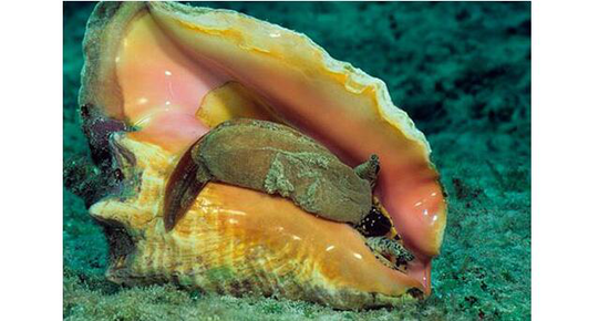 女王凤凰螺The Queen conch