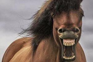 冰岛摄影师拍到野生马儿开怀大笑