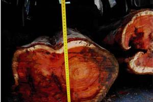 红豆杉濒危20年之一:剥皮挖根屡禁未止 判刑逾千