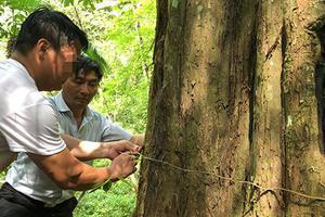 红豆杉濒危20年之二:江西盗伐判44人 树王险被砍