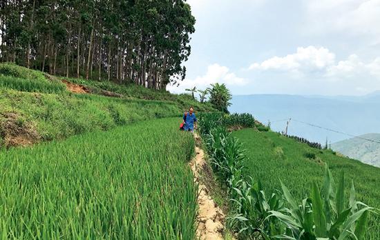 元江梯田里长满绿油油的水稻