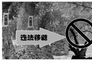 镇政府违法移栽致文物级古枣树死亡
