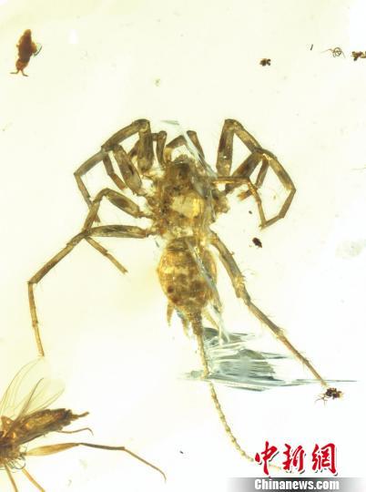 王博领衔的科研团队所研究的应氏奇美拉蛛正模(定名标本)。南古所 制图